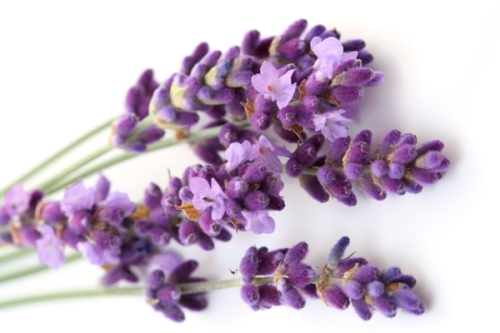 bunch of lavender flower isolated on white close-ups