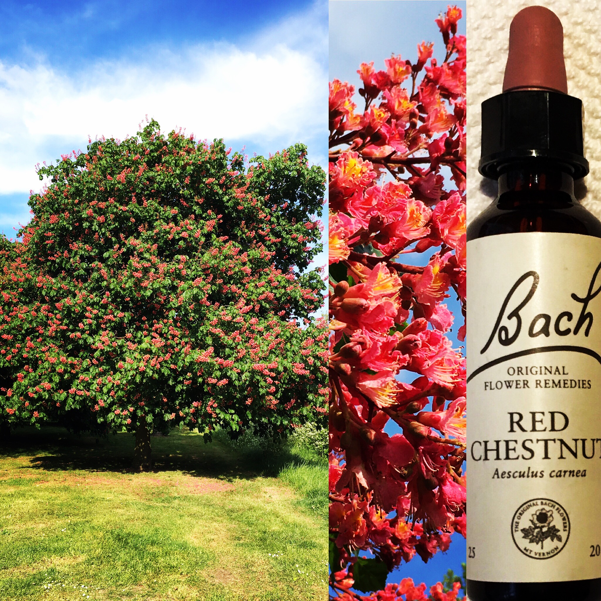 About The Red Chestnut Bach Flower Remedy Sobre O Floral Red